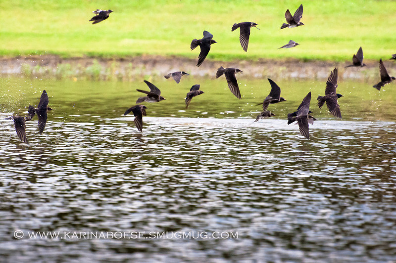 2013 purple martin migration-5399