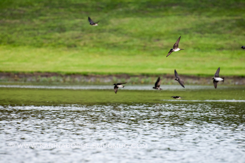 2013 purple martin migration-5259