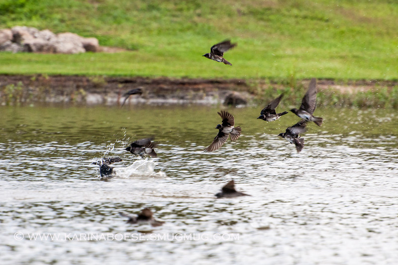 2013 purple martin migration-5292