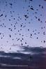 2013 purple martin migration-5591