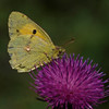 Clouded Yellow - Olympus E3, Zuiko 70-300mm, 1/1250 sec at f6.3, ISO 100