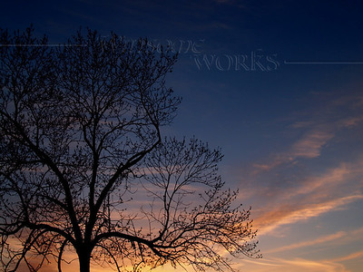 Sunset with Black Walnut Tree (Juglans nigra L. ) silhouetted in blue and orange-- Pennsylvania, spring
