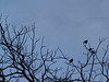 Silhouetted Starlings huddling in black walnut tree, early April