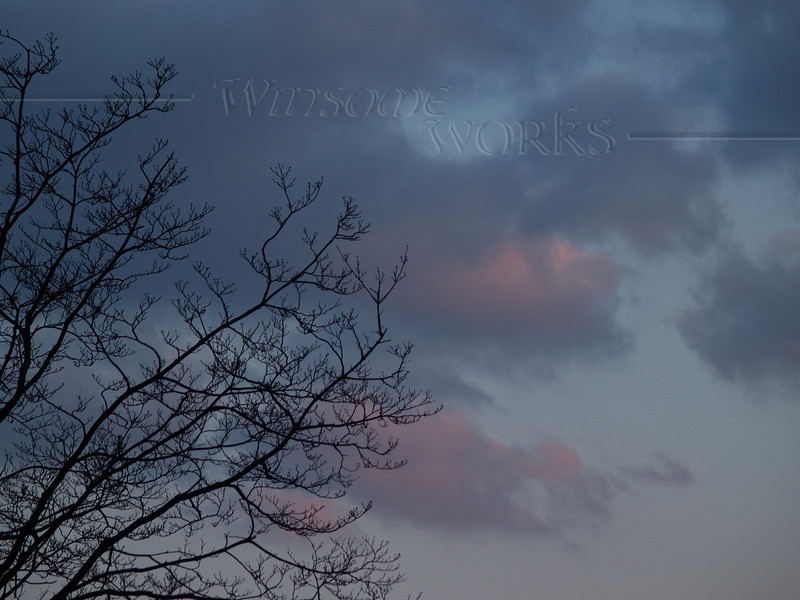 Sycamore branches silhouetted in moody, early April sky, sunset