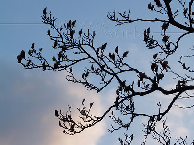 Magnolia soulangeana Silhouetted in Early April Twilight