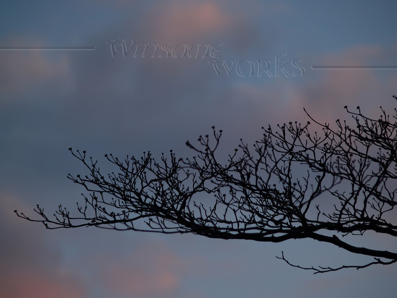 Silhouetted dogwood branches, reaching for spring