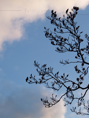 Magnolia soulangeana silhouetted at sunset, early April