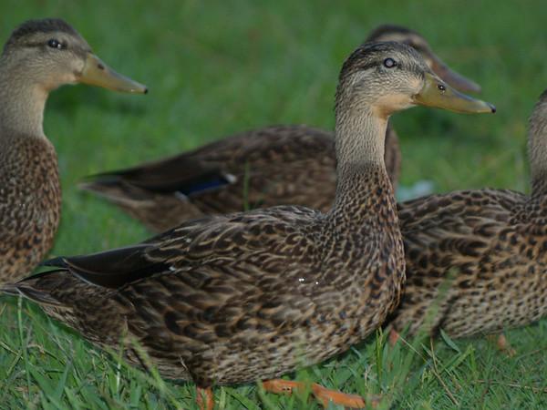 Quacking Around Lake Houston