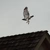 Hawk.<br /> Agilucho.