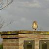 Lechuza. Owl. Pilar.