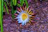 NIght Blooming Cereus 8.3.14