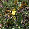 Goldfinch enjoying Purple Coneflower seeds.