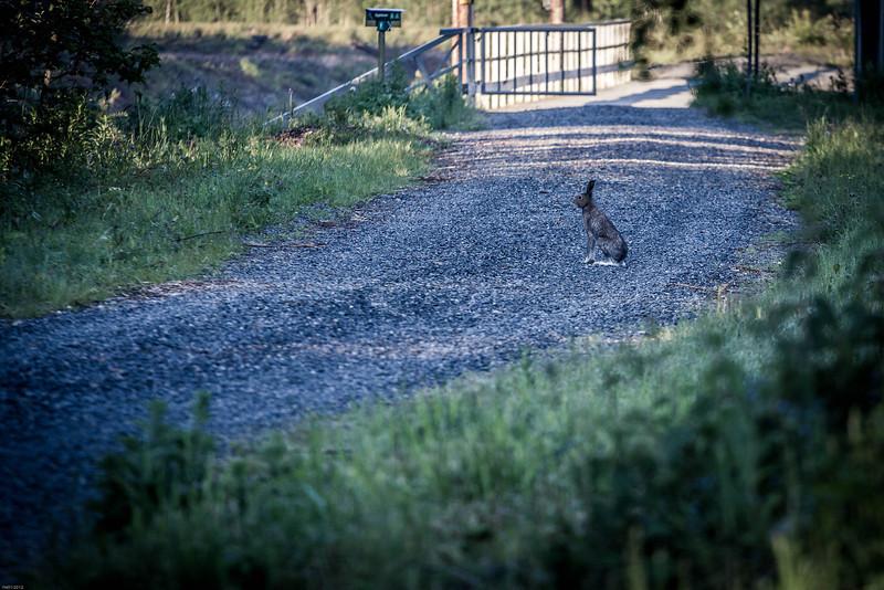 «Ingen vet hvor haren hopper» - men jeg fant ho lell!