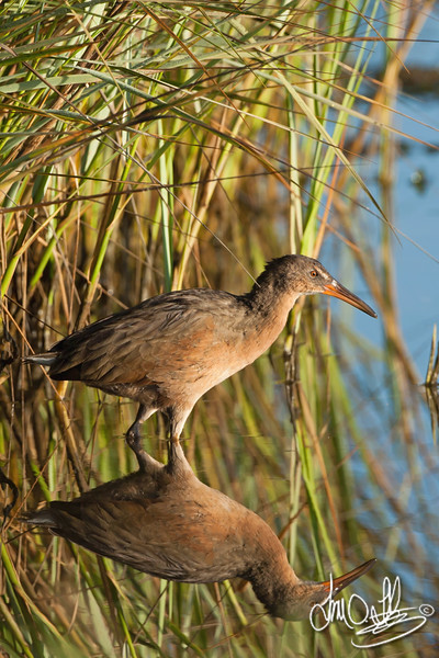 Early morning Ridgway's Rail