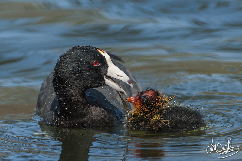 American Coot feeding a chick