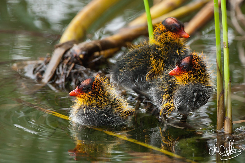American Coot Chicks
