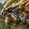 American Coot Chicks