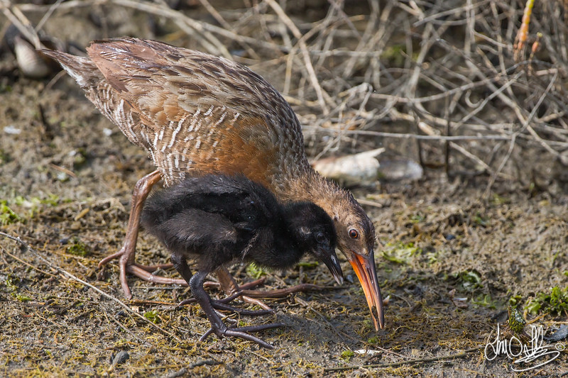 Ridgway's Rails parent and chick