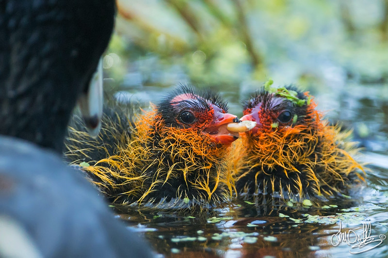 American Coot feeding her young