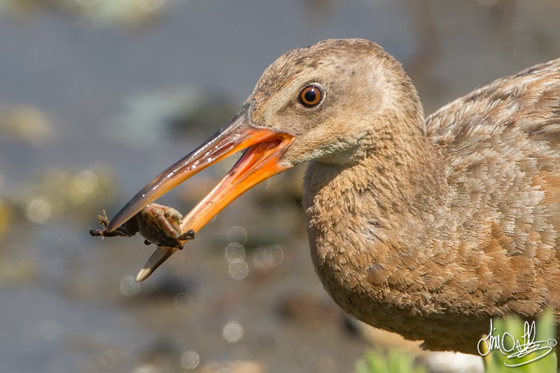 Ridgway's Rail with a Small Crab