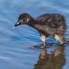 Ridgway's Rail Chick