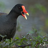 Common Gallinule eating American Black Nightshade berries