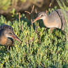 Ridgway's Rail juvenile siblings