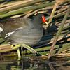 Common Gallinule