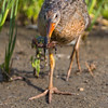 Ridgway's Rail with a Crab