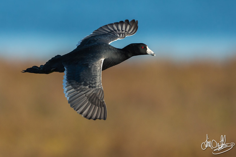 American Coot In-Flight