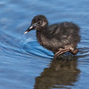 Light-footed Clapper Rail Chick