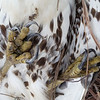Red-tail Hawk talons... up close and personal