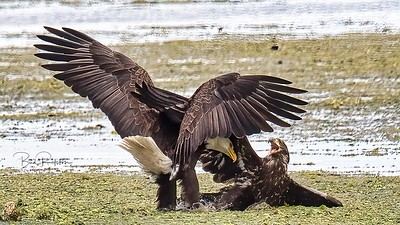 Eagles fighting 8751