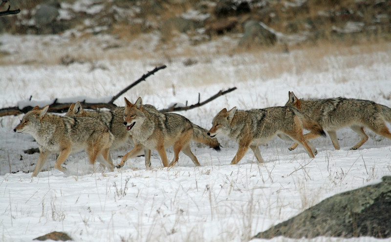 Running Coyote Pack<br /> Rocky Mountain Nat'l Park,Colorado