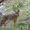 Coyote.<br /> Moraine Park<br /> Rocky Mountain Nat'l Park,Colorado..series