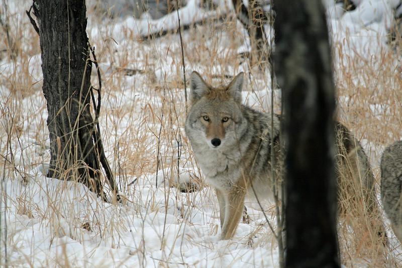 Coyote <br /> Rocky Mountain Nat'l Park