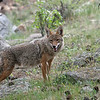 Coyote<br /> Moraine Park<br /> Rocky Mountain Nat'l Park