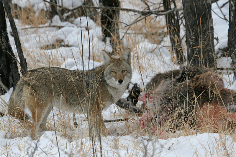 Coyote,on an Elk kill<br /> Rocky Mountain Nat'l Park,Colorado..series