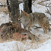 Coyote on a Elk kill.<br /> Rocky Mountain Nat'l Park