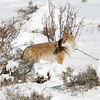 Coyote<br /> Rocky Mountain Nat'l Park