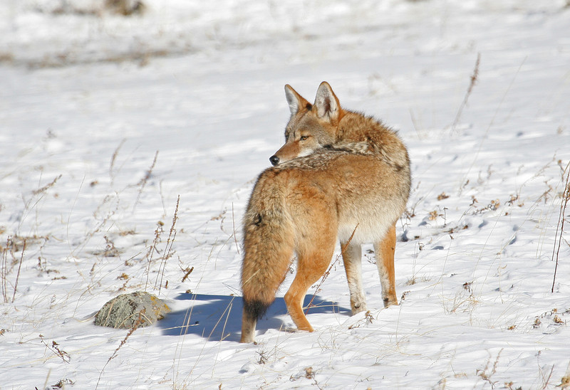 Coyote in the snow<br /> Rocky Mountain Nat'l Park,Colorado..series