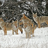 Pack of Coyotes.<br /> Rocky Mountain Nat'l Park,Colorado..series