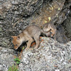 Cotote Pups<br /> Yellowstone Nat'l Park