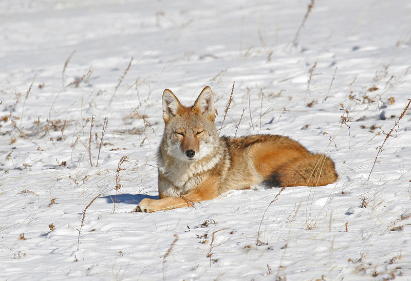 IMG_4199 <br /> Adult Coyote Rocky Mtn Nat'l Park