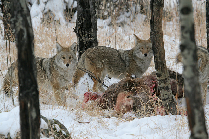 Pair of Coyotes,on an Elk kill<br /> Rocky Mountain Nat'l Park,Colorado