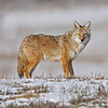 Adult Coyote<br /> Boulder County,Colorado