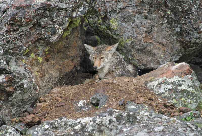 Tired Coyote Mom.<br /> Yellowstone Nat'l Park