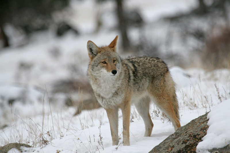 Coyote<br /> Rocky Mountain Nat'l Park,Colorado