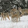 Pack of Coyotes<br /> Rocky mountain Nat'l Park