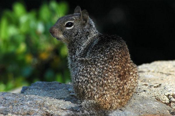 Squirrel at Burney Falls, California